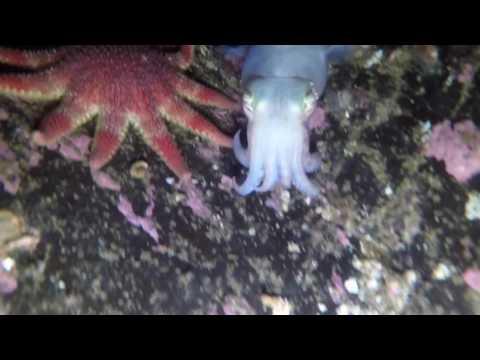 Conservation Bay, Cuttlefish