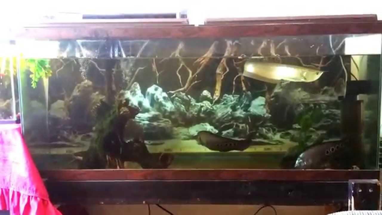 Silver Arowana On 55 Gallons Aquarium