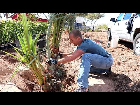 #1 Fruit Tree for HOT Backyard Gardens | Grow Your Own Dates - Amazing!