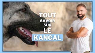 le-kangal-caractre-ducation-comportement-sant-on-vous-dit-tout-