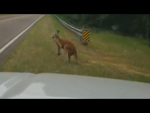 Kangaroo Spotted Hopping Along South Carolina Highway
