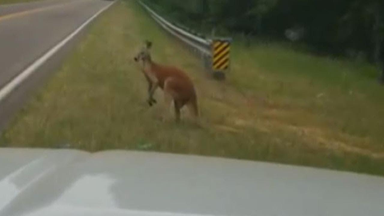 kangaroo-spotted-hopping-along-south-carolina-highway
