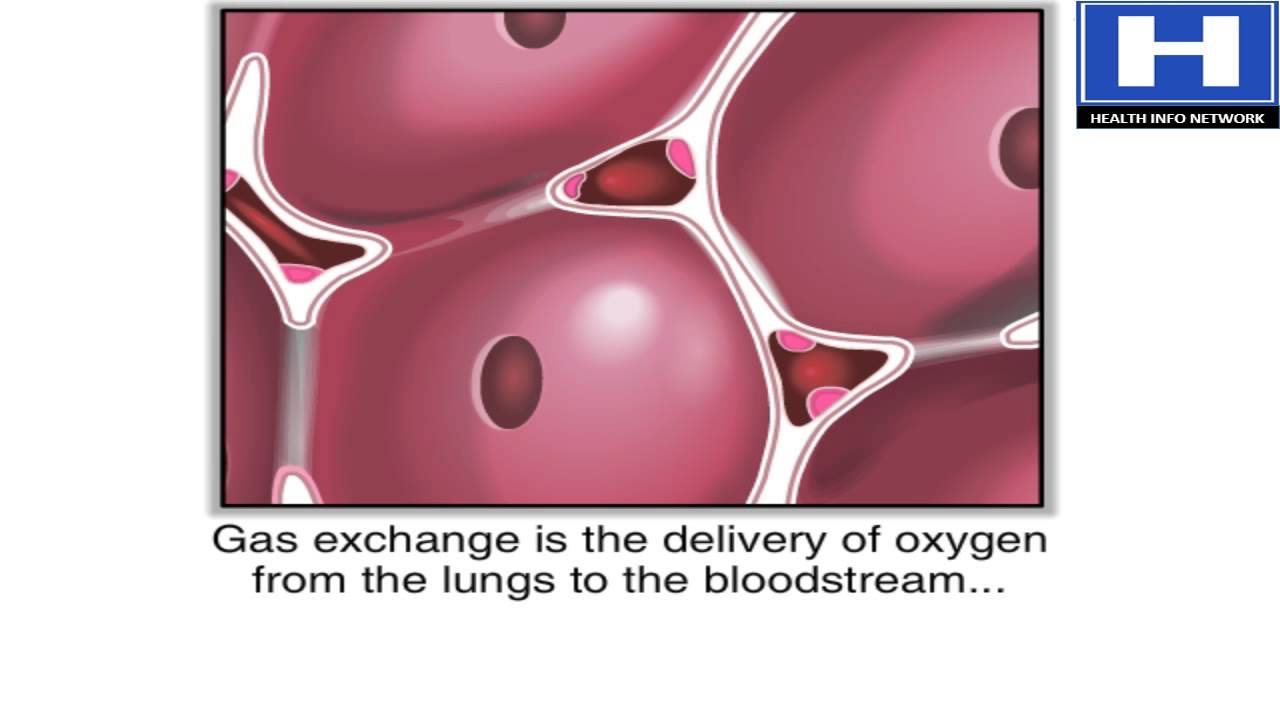 How Gas Exchange Occurs in the Lungs Animation | Anatomy ...