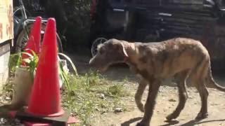 アイリッシュウルフハウンドの子犬です。 子犬の詳細は → http://www.an...