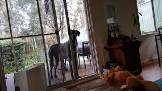 clever-great-dane-knows-exactly-what-to-do-when-it-s-bath-time