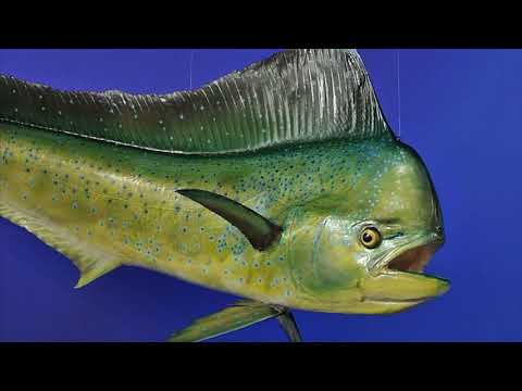 Facts: The Dolphinfish (Mahi-Mahi)