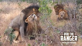 Male On Male Mounting Within A Dominant Coalition