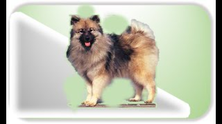 Немецкий вольфшпиц (Wolfspitz с нем.) - он же волчий шпиц или кесхонд