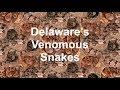 Delaware's Venomous Snakes