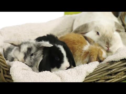 CONEJOS - El Conejo Belier o Mini Lop