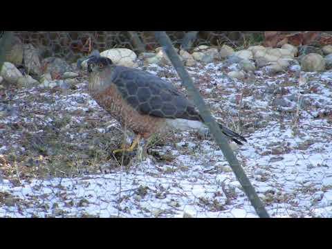 01/06/17 Cooper's Hawk Eating Prey in Geo-Dome @ Renton, Wa 1635-D