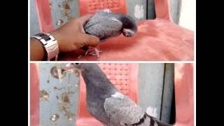 Pigeon PMV can be cured medicine only in INDIA