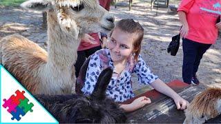 Swarmed By Alpacas