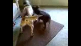 Dash The Augi And Andy The Au Cattle Dog  - Play Tug-o-war