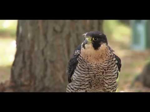 Falconry in Saskatchewan