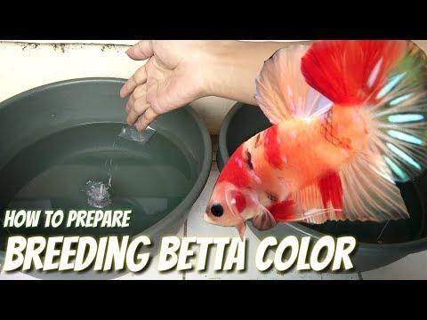 BREEDING BETTA COLOR - PREPARE