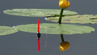 Рыбалка на ПОПЛАВОК КАРАСЬ на удочку в КУВШИНКАХ Поклевки карася на реке