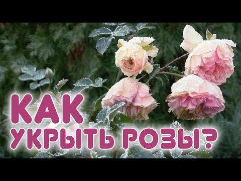 Новый способ укрытия роз.