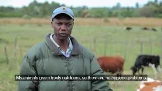 Dairy farming in Kenya - securing livelihoods through high animal welfare