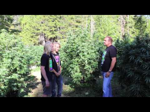 Outdoor Marijuana Water & Feeding Secrets (Candyland Pt 3)