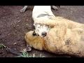 Dogo Argentino Vs Puma Fight - Cougar Baiting!!!