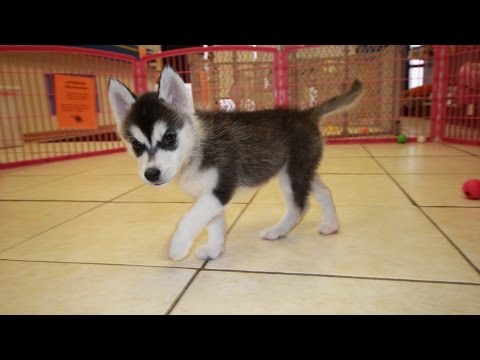 Siberian Husky Puppies For Sale In Knoxville County Tennessee