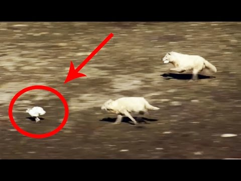 EPIC HARE VS ARCTIC WOLVES