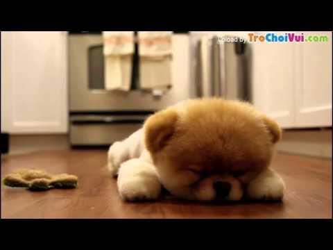 Chú chó Boo đáng yêu