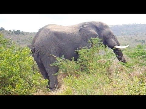 Wild Elephants in Hluhluwe, South Africa