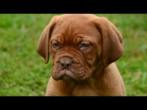 French Mastiff Pups Playing In The