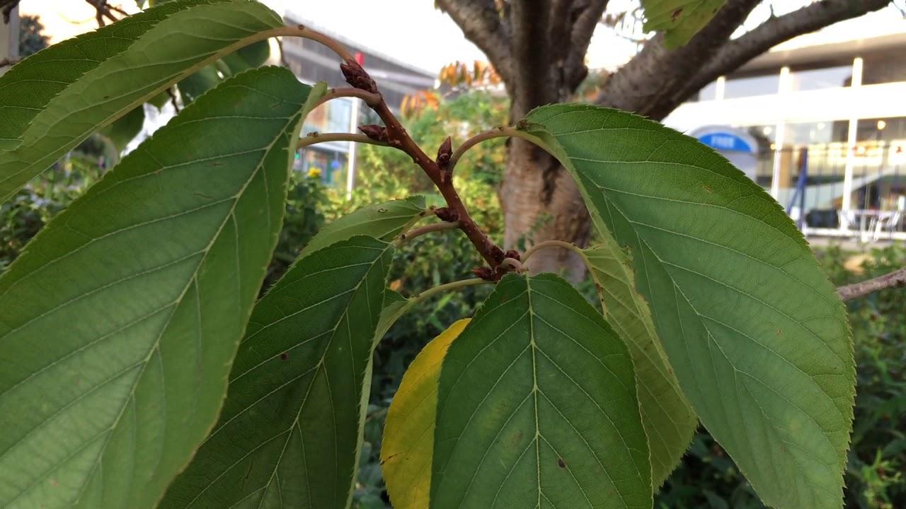 Flowering Cherry Tree Prunus Leaves October 2017 Youtube