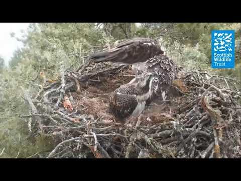 Osprey chicks feeding