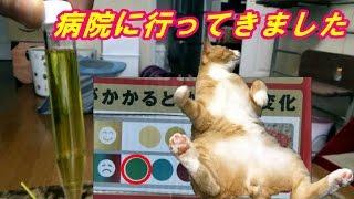 今日、♂猫だいずを連れて病院に行ってきました。尿検査の結果、砂が見つ...