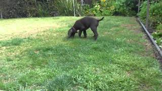 German Shorthaired Pointer Puppy 9weeks old. 1st time yard debut. h...