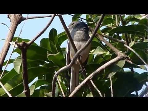 voice of oriental magpie robin vanvihar