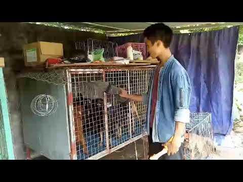 Mua bán chó becgie bỉ tại Hà Nội siêu thuần chủng