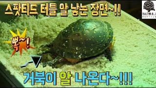 거북이 산란 장면 포착~!!! 거북이 브리딩 영상~! …