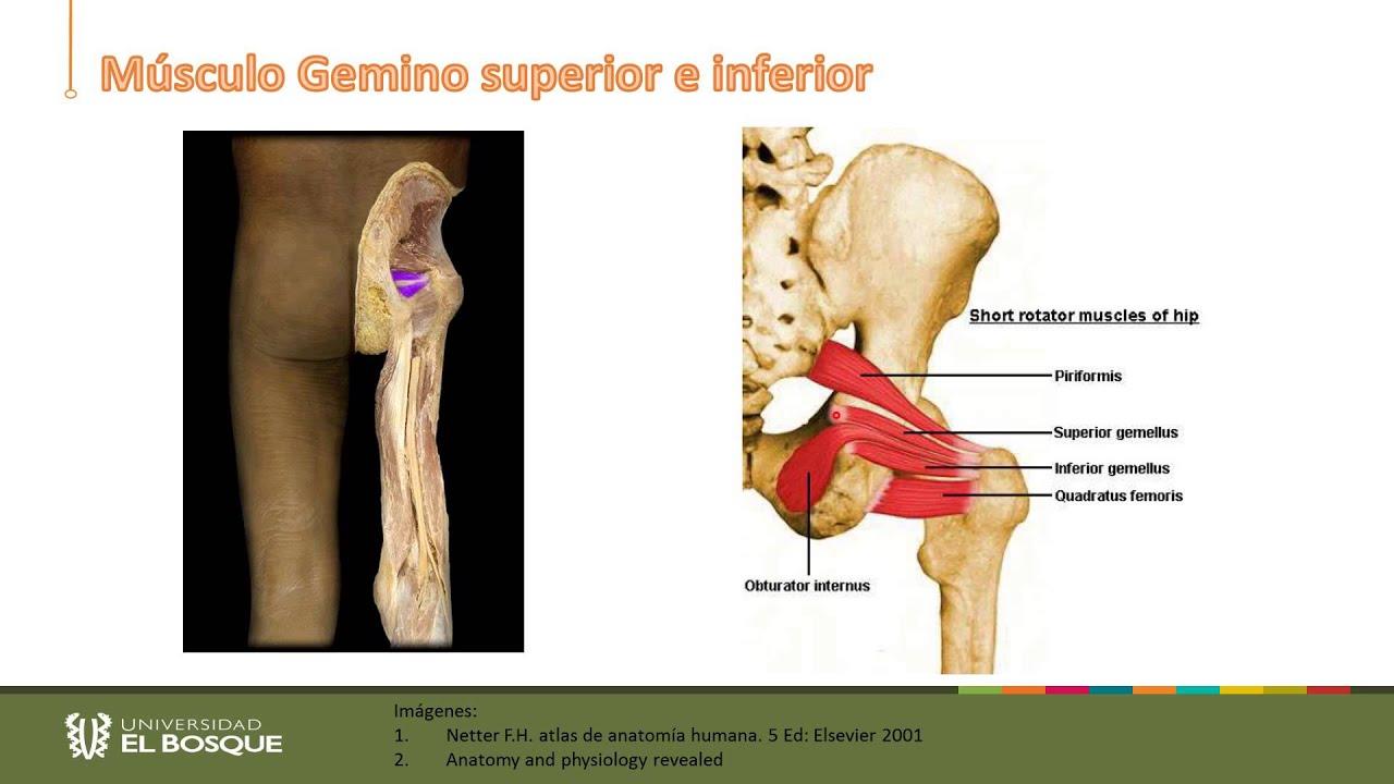 Anatomía del miembro inferior. Región Glutea y Muslo Posterior - YouTube