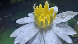 店裡的睡蓮開花了,養了一年真的很欣慰了,這是120CM水草墻那個缸裡的睡蓮