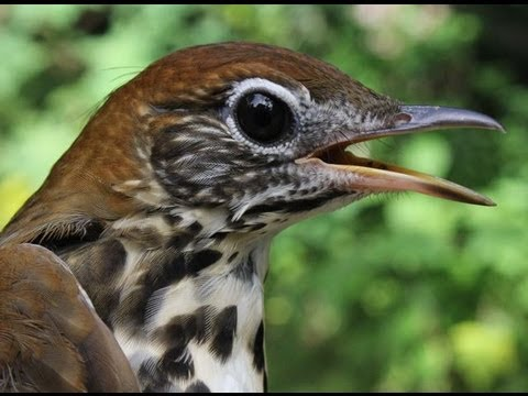 A Beautiful Songbird: The Wood Thrush, HD