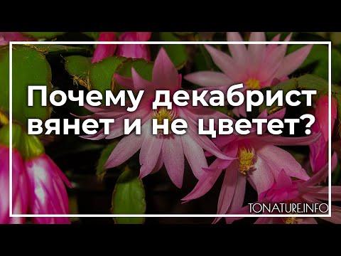 Почему декабрист вянет и не цветет? | toNature.Info