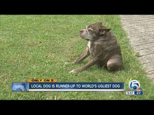 WORLD\'S UGLIEST DOG\: Florida Dog is Runner-Up in Ugliest Dog Contest
