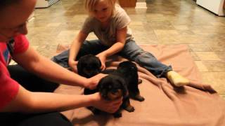 16 day old Rottweiler Puppies - 3 male Rottweiler Puppies for sale in Tennessee