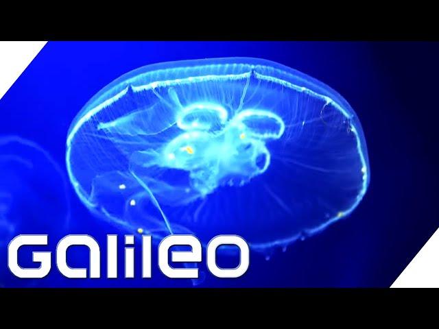 Kein Gehirn, aber ein Heilmittel gegen Krebs? - Die Qualle | Galileo | ProSieben