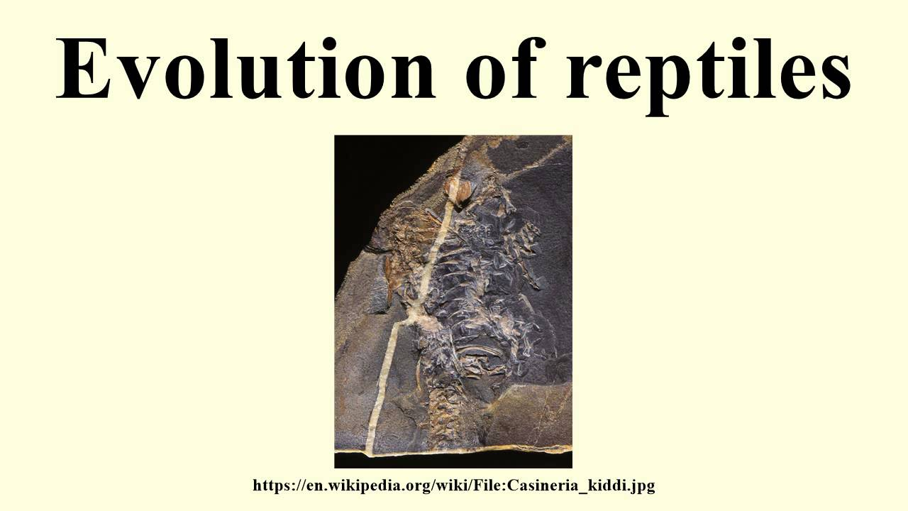the theory of evolution of reptiles The paleozoic era was 544 - 200 million years ago the paleozic era is divided into several subdivisions the most important paleozoic era subdivisions in reptile and amphibian evolution.