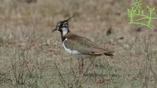 Голоса птиц Как поёт Чибис (Vanellus)
