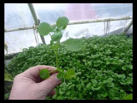 True Water Cress – the Aquaponic Dream Plant