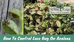 How To Control Lace Bug On Azaleas