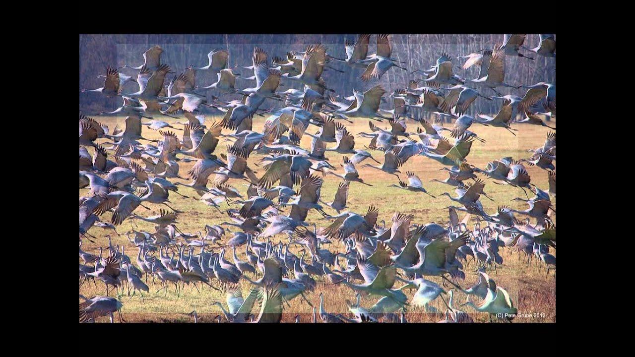 Indiana jasper county tefft - Sandhill Cranes Of Jasper County Indiana