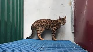 Bán Mèo Bengal Nhập Nga - 083 235 6868